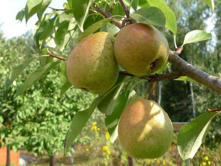 Созревание плодов груши