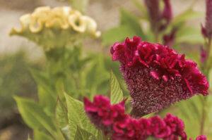 Полностью здоровое цветение петушиного гребешка