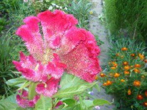 Петушиный гребешок в садовом ландшафте