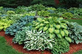 Хоста из семян: посадка, основы ухода, пересадка и  размножение