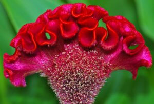 Цветение петушиного гребешка