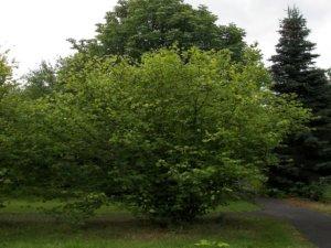 Взрослое дерево лещины