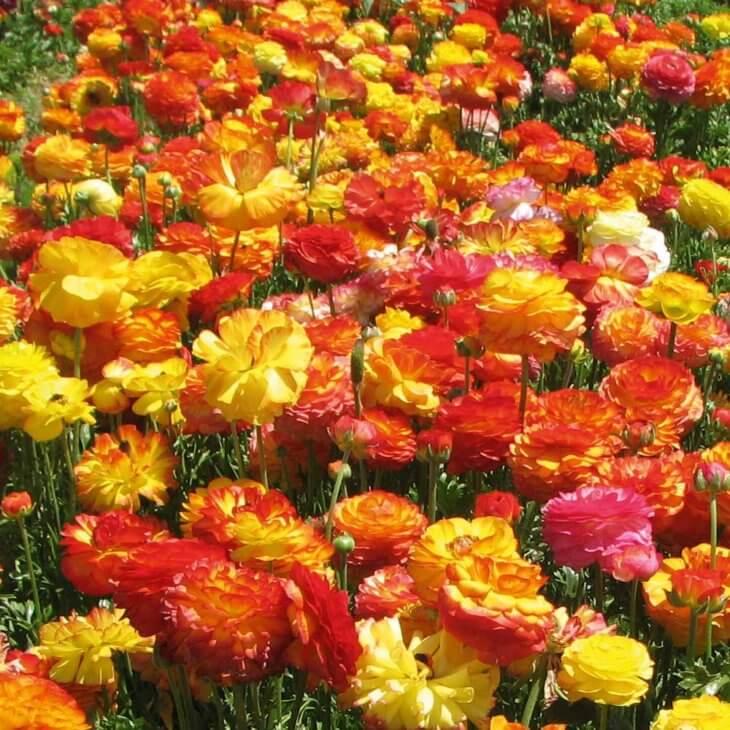 Пышное цветение и яркие краски лютиков