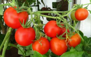 Отличный урожай томатов