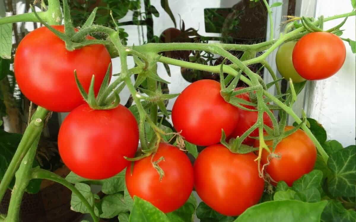 Выращивание томатов особенности 85