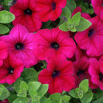 Как размножить петунию черенками: нюансы посадки и ухода за растением