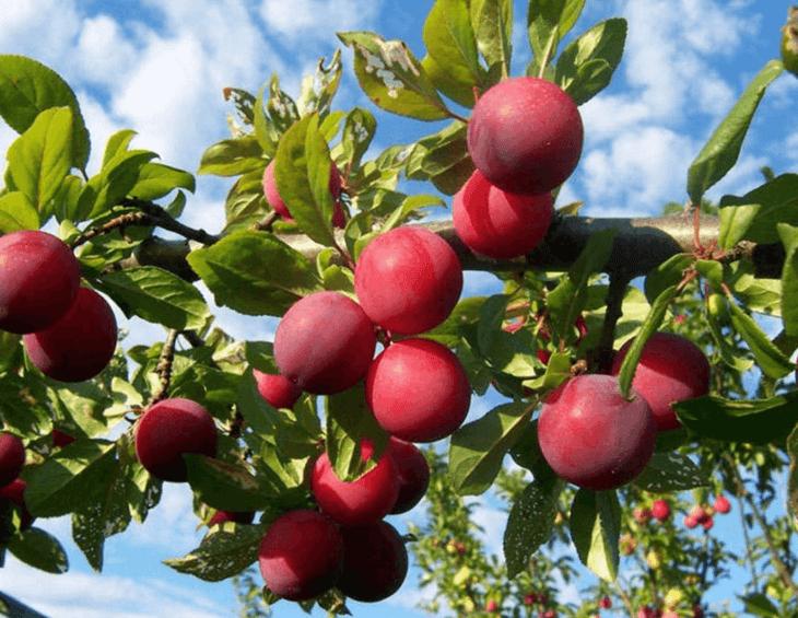 Созревание сливы на дереве