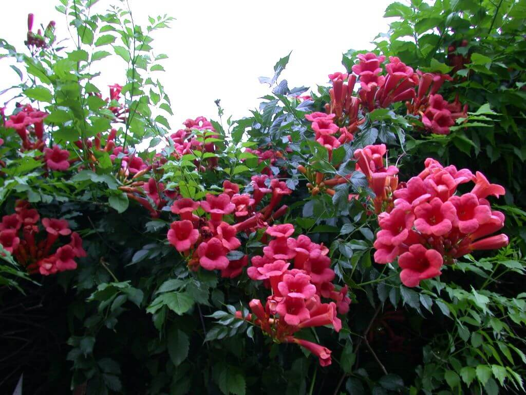 Кампсис укореняющийся сорт Фламенко: сложности ухода и место в саду