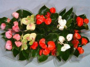 Разные виды цветения антуриума