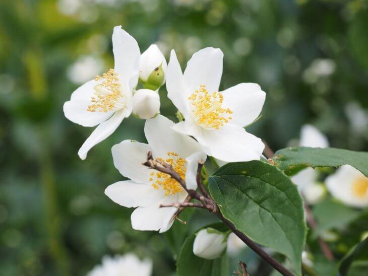 Белые соцветия чубушника