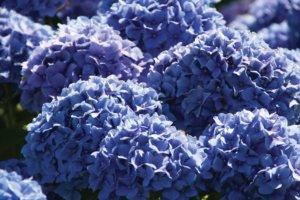 После обрезки гортензии происходит обильное цветение