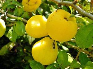 Плоды айвы, готовые к снятию
