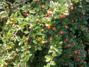 Поспевание плодов кизильника