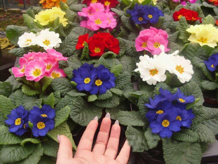 Яркое цветение примулы в саду