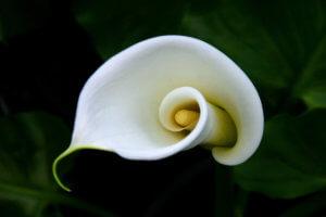 Цветение каллы