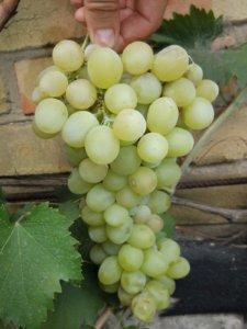 Виноград, который можно вырастить у себя в саду