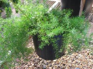 Выращивание аспарагуса в горшочке