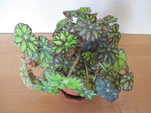 Лат. Begonia bowerae