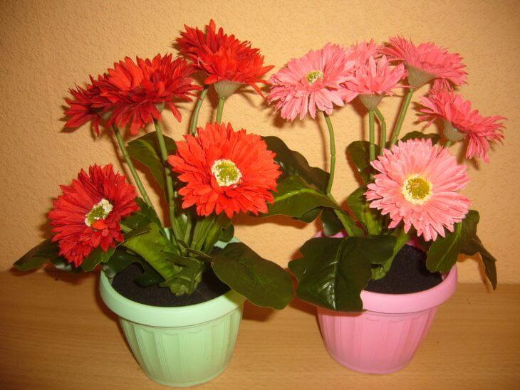 Цветение герберы в домашних условиях