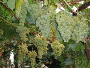 Как вырастить виноград Сенека у себя на приусадебном участке