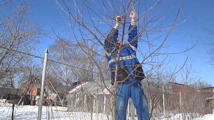 Обрезка вишни зимой