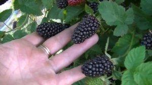 Ежевика Блэк Бат: посадка и особенности выращивания