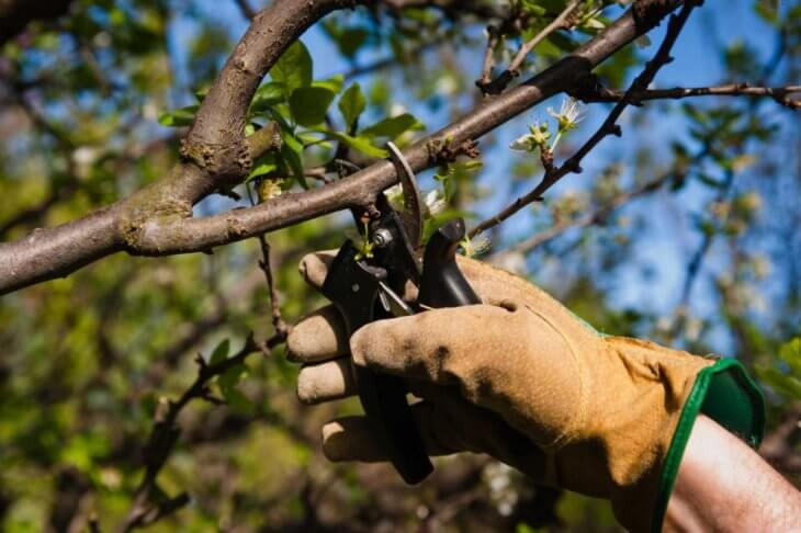 Обрезка вишни с помощью секатора