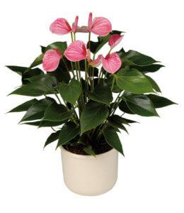 Цветок «Мужская сила»: правила посадки и основы ухода за растением
