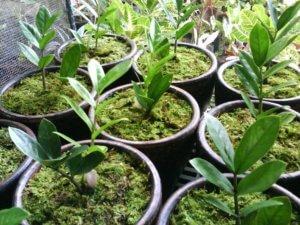 Здоровые росточки замиокулькаса