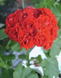 Цветение герани-розочками