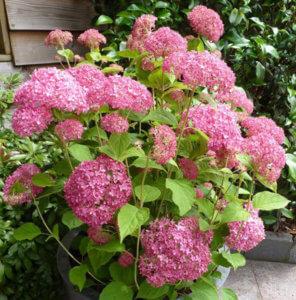 Красивое цветение гортензии