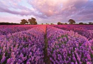 Прекрасное лавандовое поле