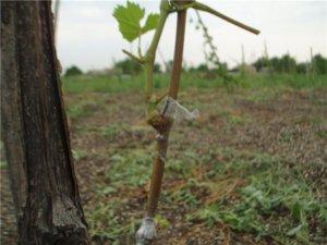 Первые росточки молодого винограда