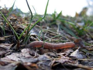 Дождевой червь на садовом участке