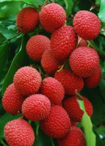 Созревание плодов личи