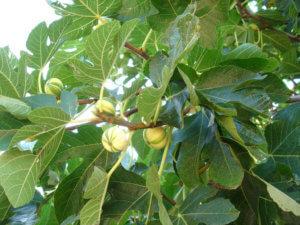 Как цветет инжир: уникальные особенности южного красавца