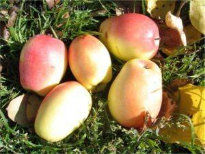 Так выглядят здоровые яблоки, снятые с дерева