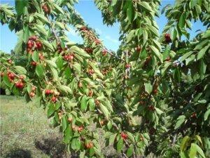 Сформированное дерево черешни