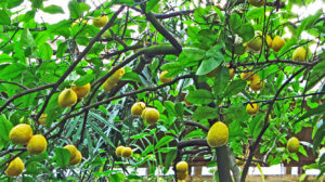 Поспевание плодов