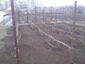 Выращивание винограда в весенний период
