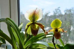 Орхидея на окне
