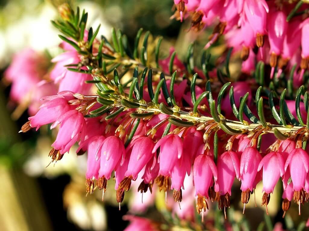 Эрика травяная: основные характеристики