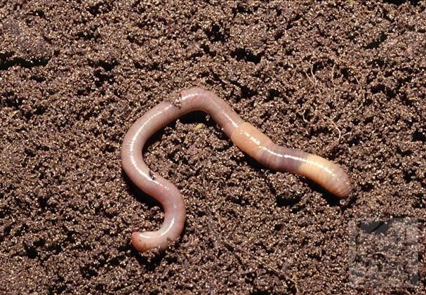 Как передвигаются дождевые черви и в каких условия могут жить
