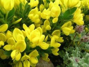 Ракитник стелющийся и основные условия его выращивания