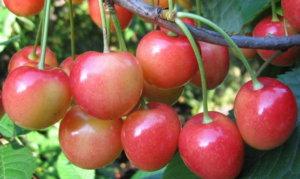 Поспевание ягод черешни