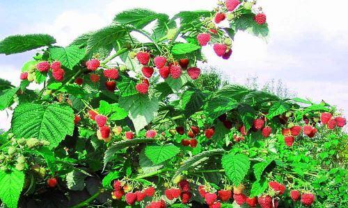 Здоровый куст малины может дать очень хороший урожай