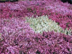 Пышное цветение эрики на земельном участке
