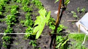 Привязка винограда
