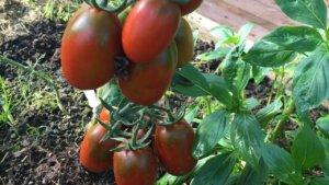 Описание сорта Де Барао черный: правила выращивания томата и ухода за ним
