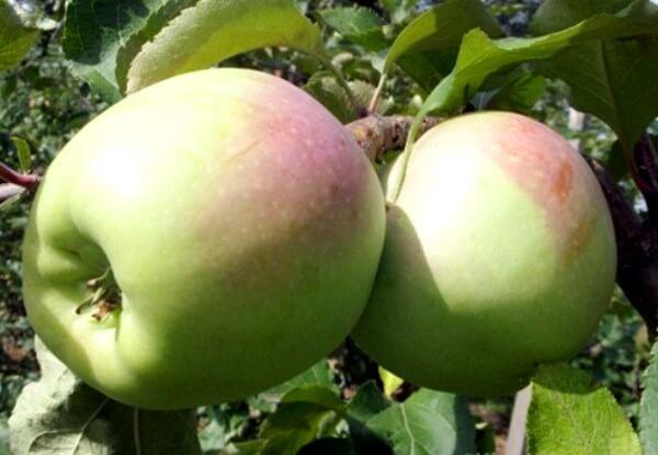 Яблоня Горный Синап: уникальность сорта и особенности ухода